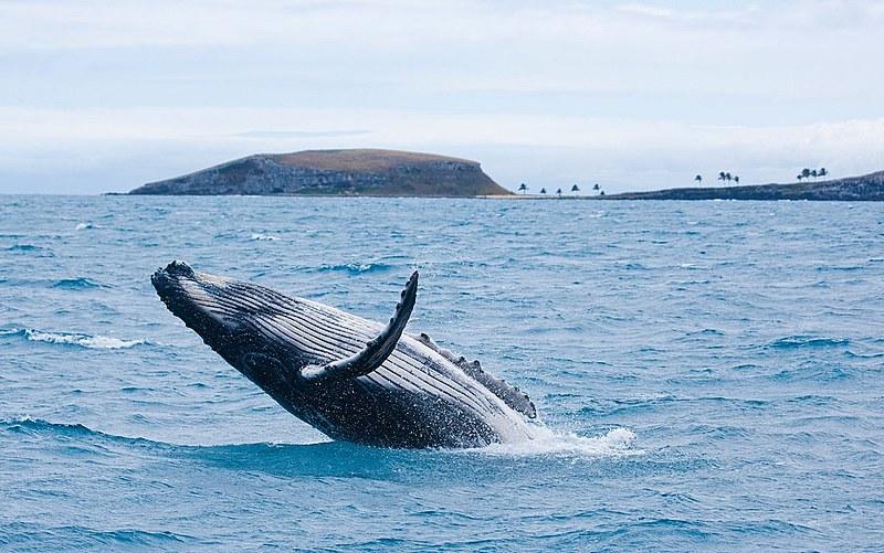 Baleia jubarte mo Parque Nacional de Abrolhos, sul da Bahia