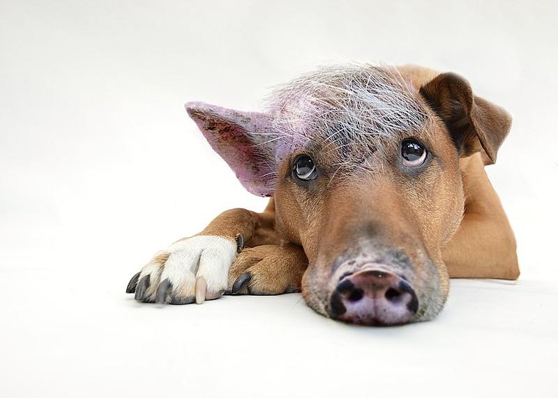 No interior da Bahia, alguns porcos são tratados como animais de estimação e vivem solto, conta Mouzar