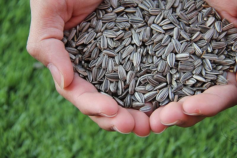 A semente é rica em nutrientes, vitaminas e proteínas, além possibilitar diversas formas de preparo