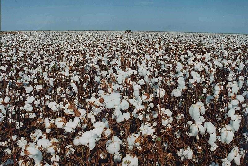 Utilização de sementes transgênicas chegará a 93,4% nas plantações de soja, algodão e milho na safra 2016/2017