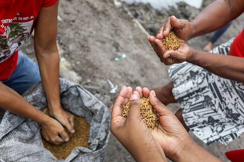 Agricultores despejam sementes na região de brejo onde será cultivado arroz orgânico