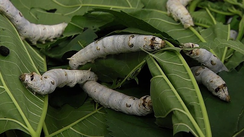 Bicho-da-seda é criado por seres humanos há pelo menos cinco mil anos