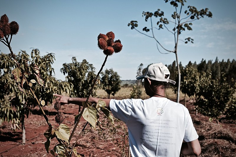 Produto rural Pedro Pinheiro mostra o crescimento do seu Sistema Agroflorestal no Assentamento 17 de abril do MST