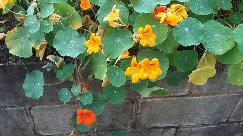 A Capuchinha, uma planta rasteira, com folhas arredondadas e com flores alaranjadas pode ser utilizada em saladas e conservas