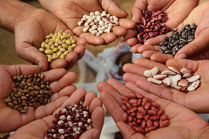 As sementes crioulas carregam informações sobre cada clima, solo e manejo específico