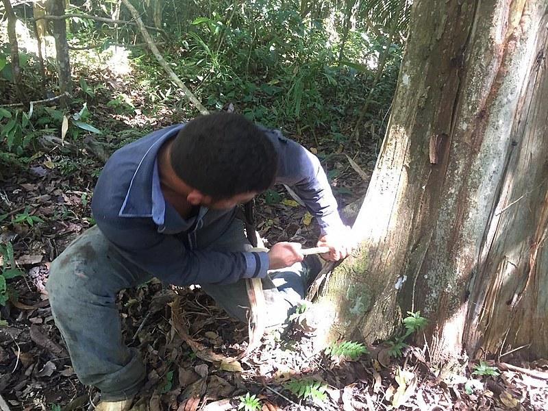 A retirada do látex, combinada com outras atividades, garante a permanência dos seringueiros na Reserva Extrativista Chico Mendes