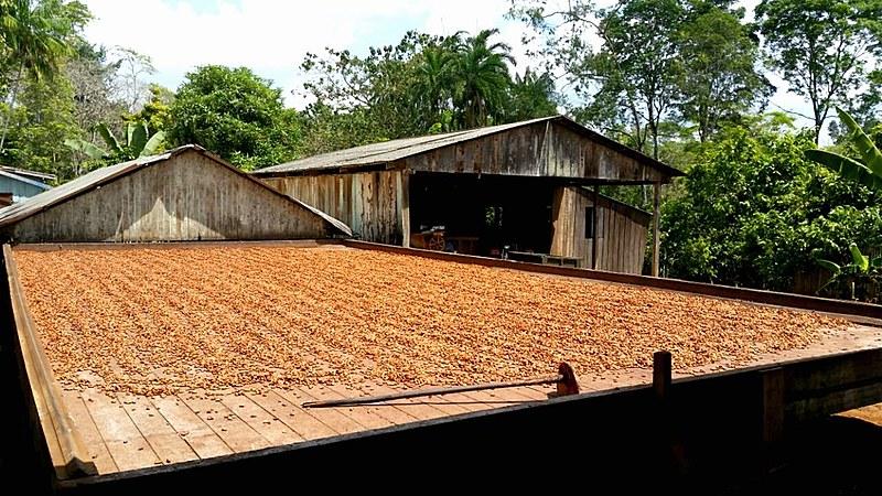 Medicilândia é o maior produtor de cacau do estado, mas a renda per capita é inferior a R$ 350,00 por mês