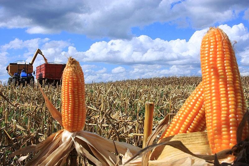 Trabalhadores do campo e especialistas questionam as regras atuais destinadas às plantações de milho transgênico