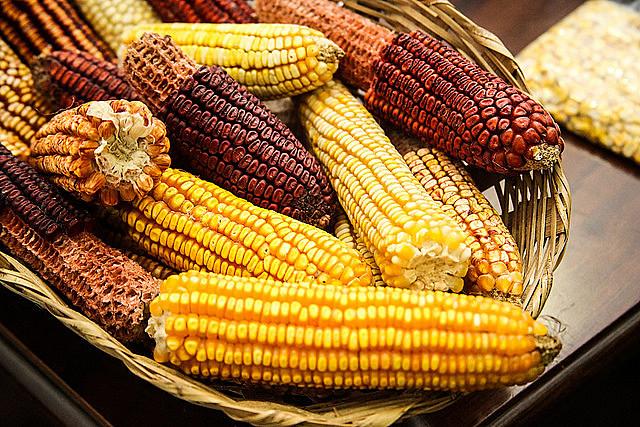 A transgenia pode causar uma contaminação irreversível das sementes crioulas