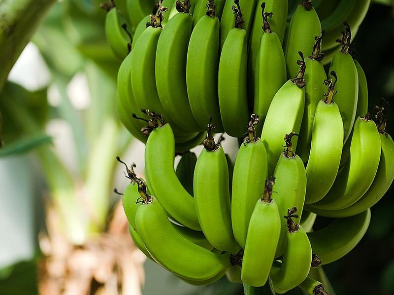 """É dito que quando a banana está verde ela """"pega"""" na boca. Isso porque, antes de sua maturação, compõe-se, basicamente, de amido e água"""