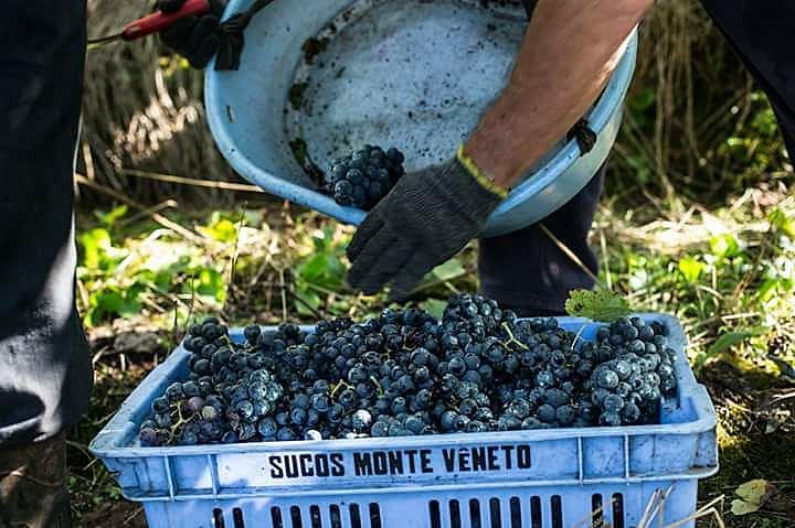 A uva agroecológica é a menina dos olhos da cooperativa Monte Vêneto, na Serra Gaúcha