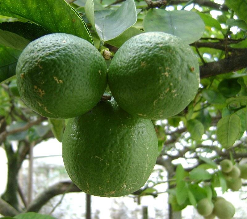 A nutricionista Carla Caratin explica que a melhor maneira de consumir o limão é in natura, logo após partir.