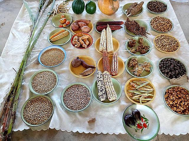 Sementes crioulas são sementes tradicionais que foram mantidas e selecionadas por várias décadas através dos agricultores tradicionais