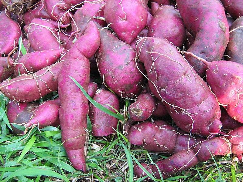 Batatas-doces roxa e avermelhada possuem antioxidantes