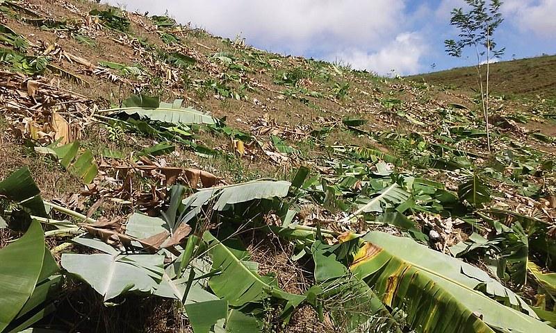 Funcionários da empresa Negócio Imobiliária S/A destruíram cerca de 10 mil pés de banana.