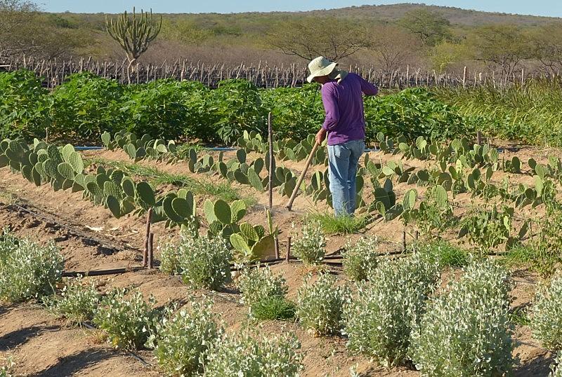 Pequeno agricultor cuida de sua produção