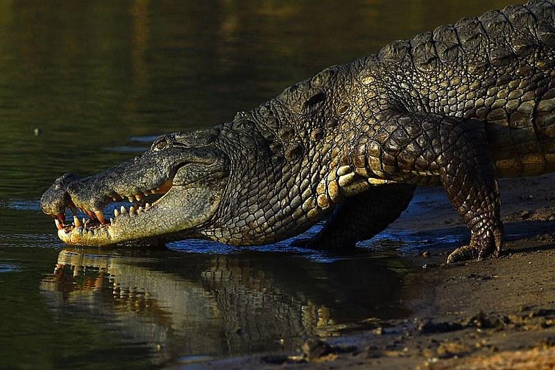 """Em """"Peter Pan"""", o crocodilo engole um relógio; quando o animal se aproxima, o 'tic tac' alerta o Capitão Gancho e o previne de ser devorado"""