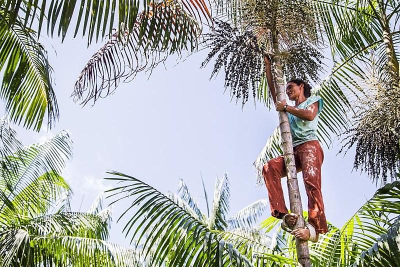 Mulher da comunidade quilombola de Laranjituba colhendo fruto em um açaízeiro