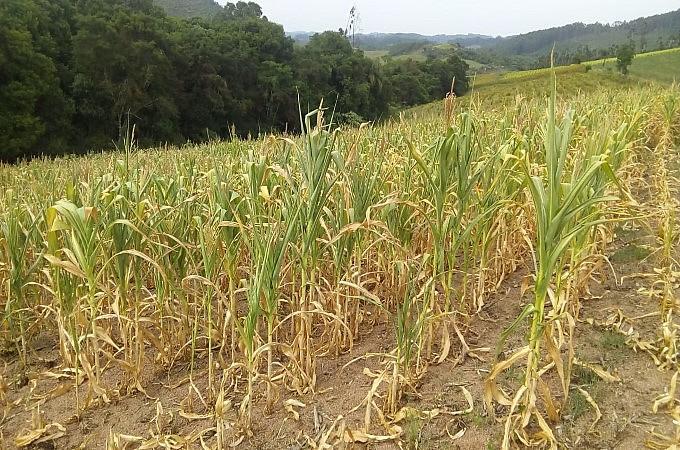 Lavouras de milho definham com ausência de chuvas em boa parte do RS