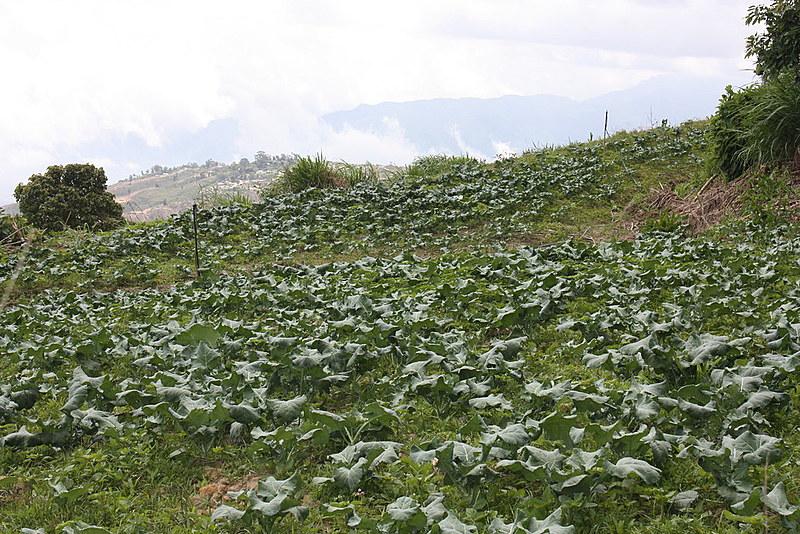 Plantação de hortaliças orgânicas no conselho comunal Hugo Chávez Frías, na paróquia de Junquito, zona periurbana de Caracas