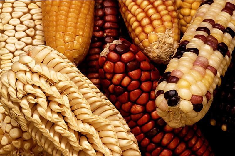 Variedade de milho, uma das culturas mais afetadas pelos transgênicos no mundo