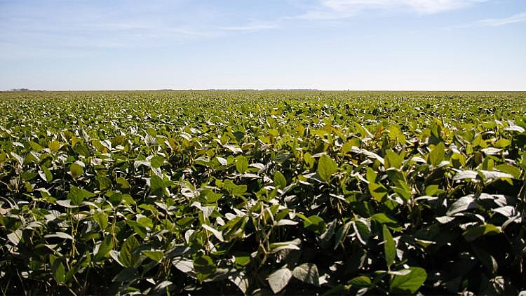A Argentina possui 23,6 milhões de hectares cultivados com transgênicos, o Brasil, 30 milhões de hectares e o campeão é os EUA, 75 milhões