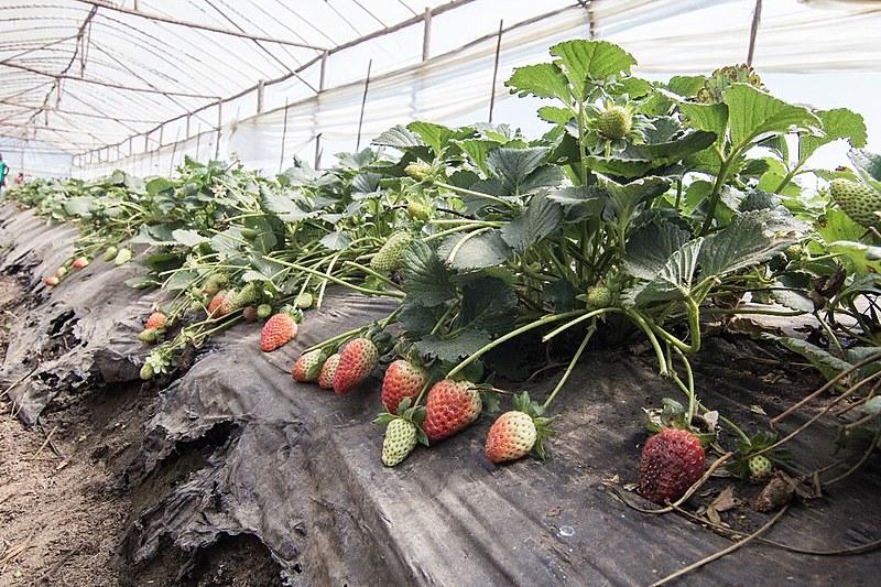 Assentados da reforma agrária no Paraná mostram como produzir morangos sem agrotóxico