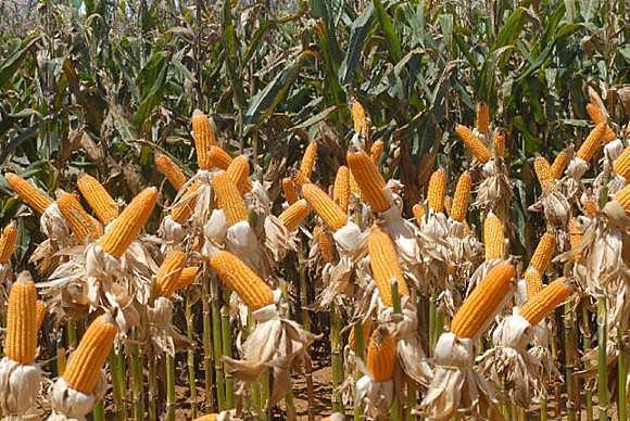No Brasil, milho, por exemplo, tem 88,4% das áreas de cultivo feitas com transgênicos, segundo dados do Isaaa