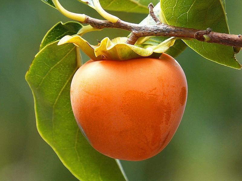 O caqui é um antioxidante e é considerado uma boa fonte de vitaminas e minerais