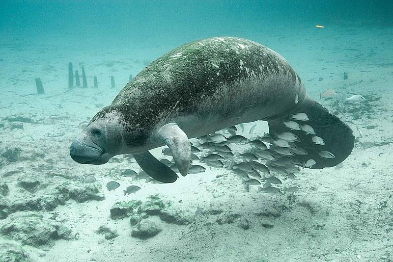 O peixe-boi, que não é peixe e sim um mamífero, é conhecido aqui também pelo nome de manati