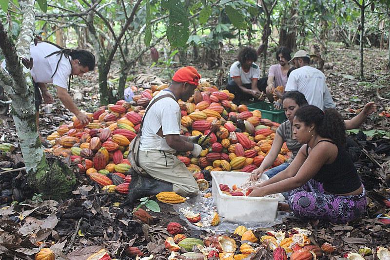 A produção de cacau orgânico é dos destaques da base agroecológica do Terra Vista