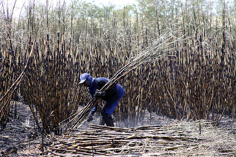 16 de janeiro é o dia alusivo ao cortador de cana
