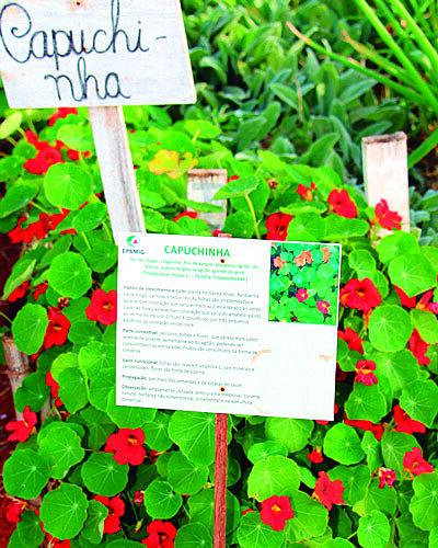 """Hortaliça faz parte das """"pancs"""": plantas alimentícias não convencionais"""