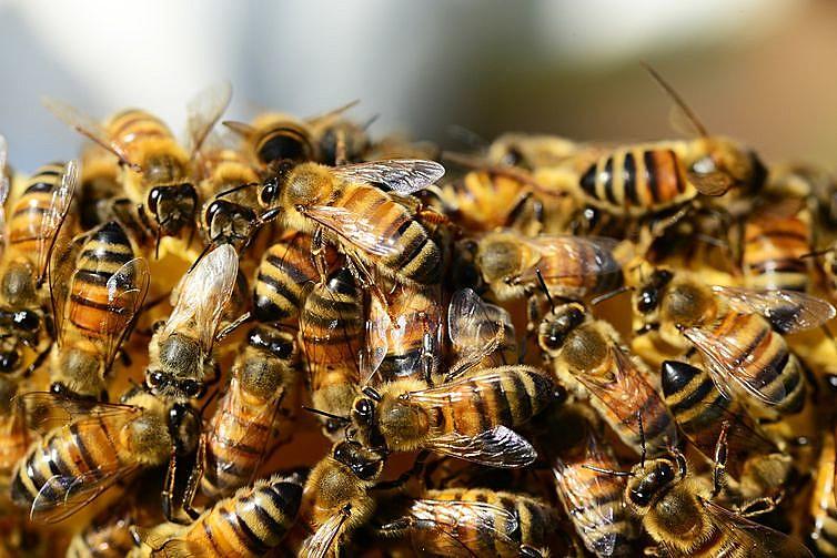 As abelhas são vítimas do uso deliberado dos agrotóxicos no Brasil