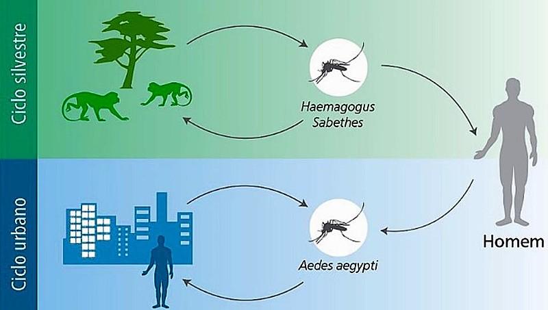 Os humanos somente serão contaminados se não tiverem sido vacinados e forem picados por um desses mosquitos ao entrarem na mata