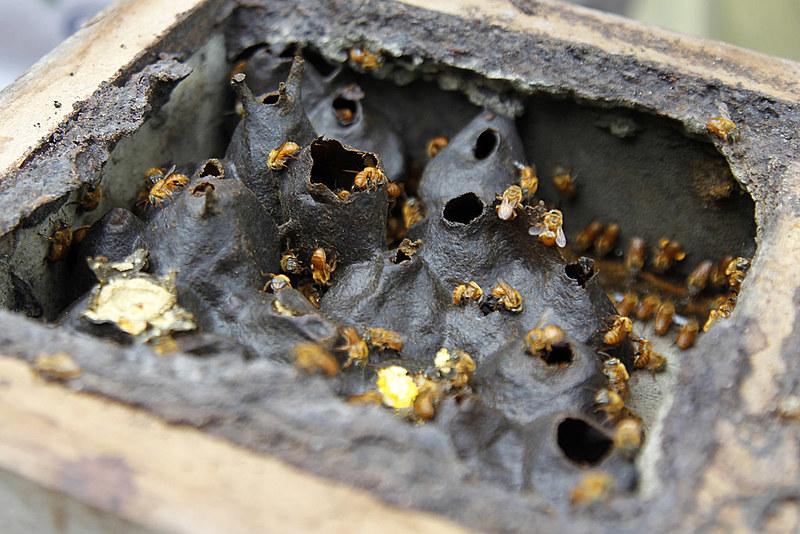 As abelhas são responsáveis por 80% da polinização dos frutos em todo o planeta