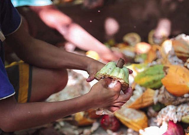 Cerca de 8.000 niños brasileños trabajan en la producción de cacao, principalmente sacando las semillas para la fabricación del chocolate