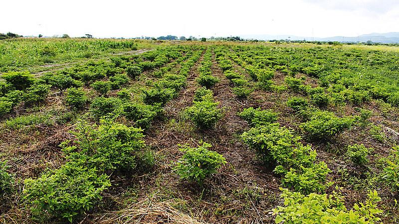 Os bioinsumos são formulações feitas a partir de microorganismos biológicos que podem auxiliar o desenvolvimento das plantações