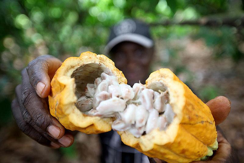Produtor de cacau abre fruto em plantação de Medicilândia, no Pará